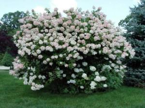 Hydrangea 'Grandiflora