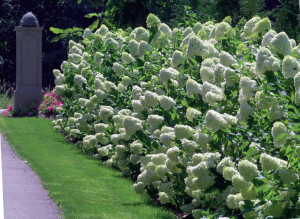 Hydrangea 'Lime Light'