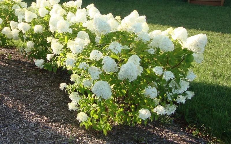 Hydrangea Gammon S Garden Center Landscape Nursery