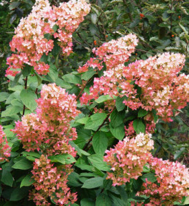 Hydrangea 'Pink Diamond'