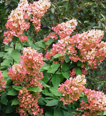 Hydrangea | Gammon's Garden Center & Landscape Nursery