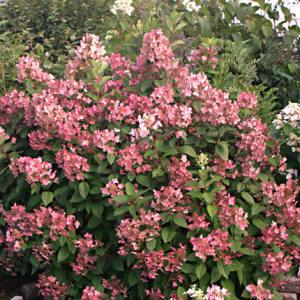 Hydrangea paniculata 'Bulk'