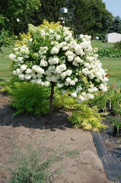 Hydrangea Trees | Gammon's Garden Center & Landscape Nursery