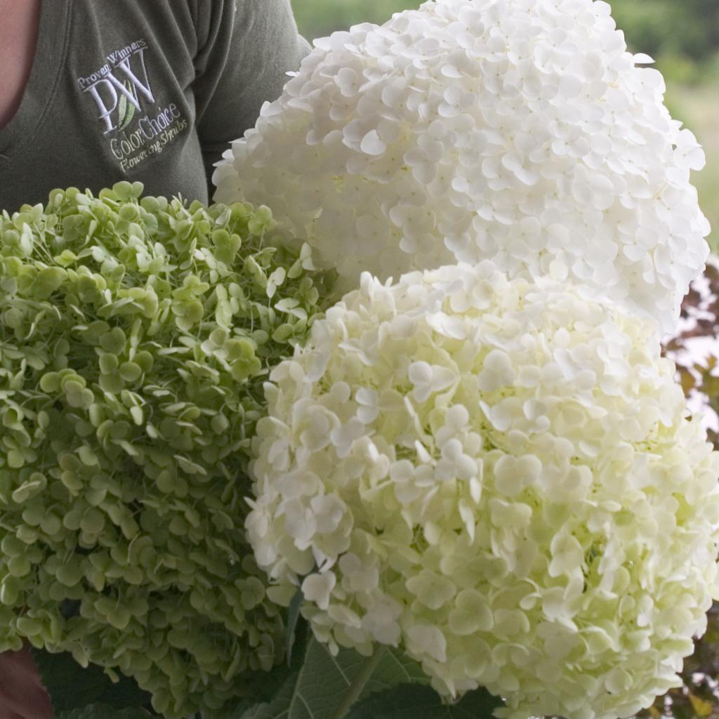 hydrangea gammon 39 s garden center landscape nursery. Black Bedroom Furniture Sets. Home Design Ideas
