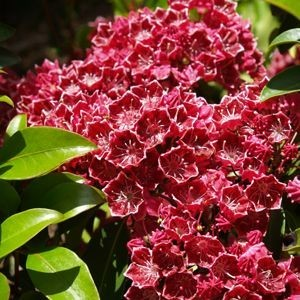 Keepsake Mountain Laurel