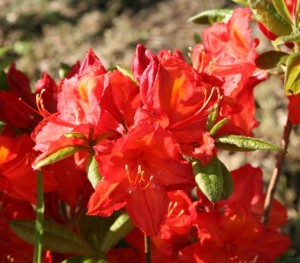 Knaphill Red Azalea