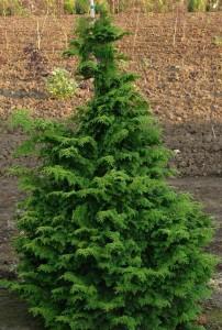 Kosteri Cypress