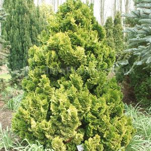 Lutea Compacta Cypress