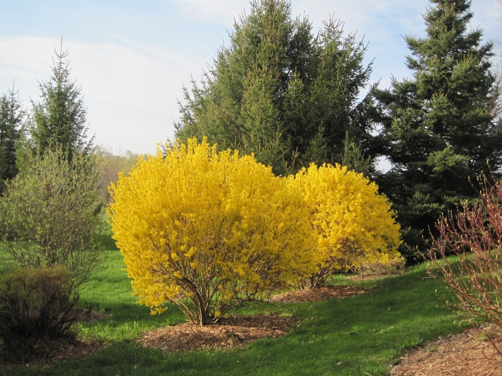 golden bell forsythia
