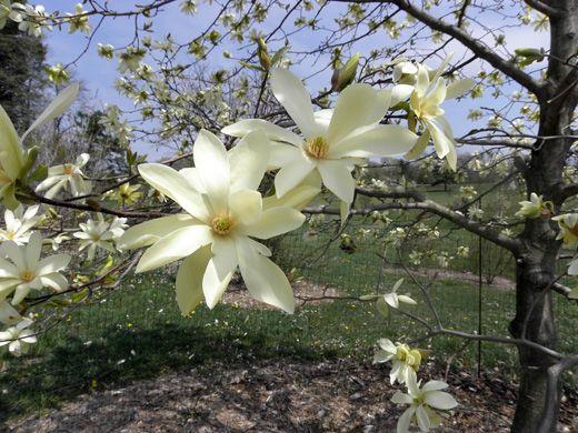Magnolia Gammons Garden Center Landscape Nursery