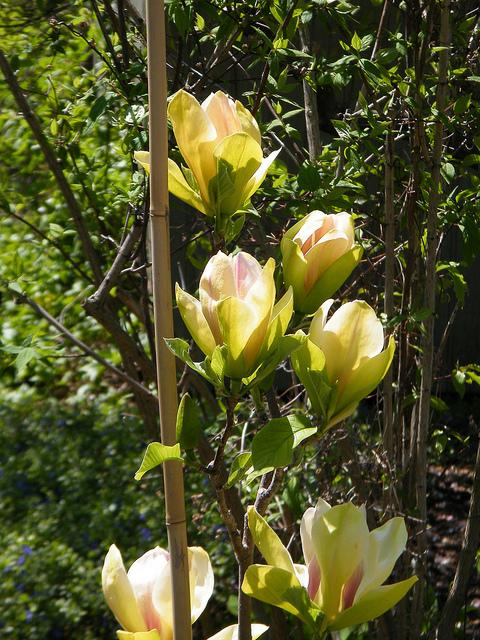 Magnolia Gammon S Garden Center Amp Landscape Nursery