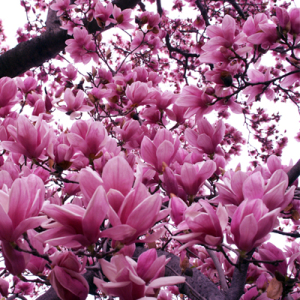 Magnolia liliflora 'Jane'