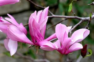 Magnolia liliiflora 'Ann'