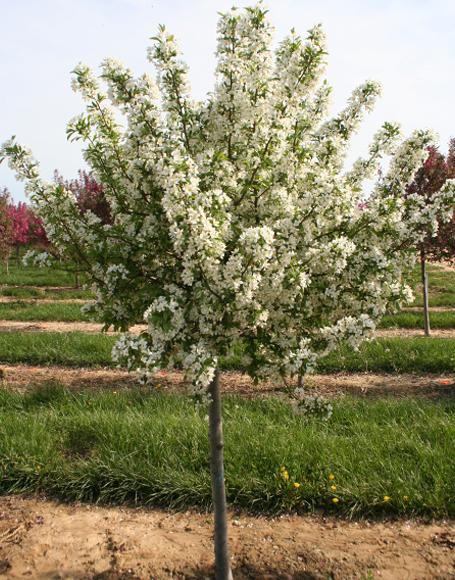 Crabapple gammons garden center landscape nursery malus select a mightylinksfo