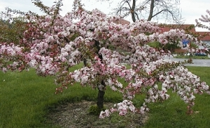 Malus'Candymint