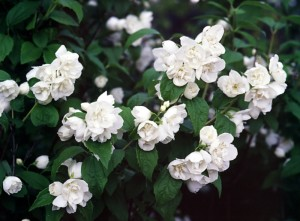 Minnesota Snowflake Mock Orange