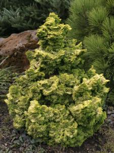 Nana Lutea Cypress