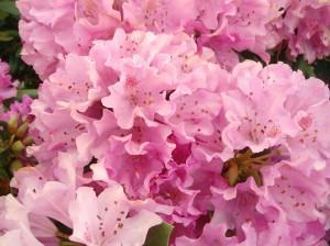 Northern Starburst Rhododendron