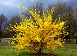 Northern Sun Forsythia
