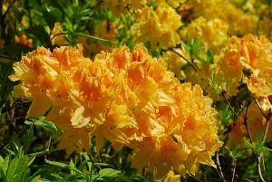 Old Gold Azalea