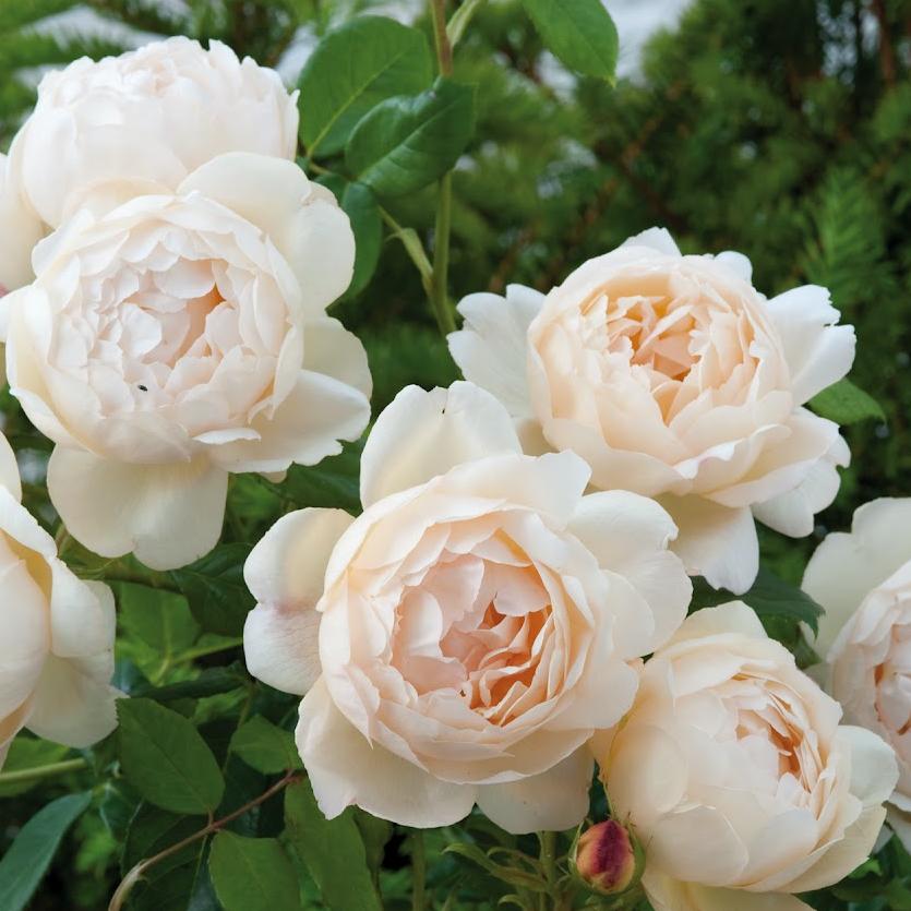 David Austin Roses: Fragrant – Gammon's Garden Center ...