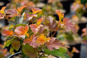 Physocarpus 'Amber Jubilee'
