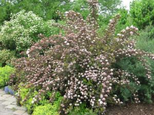 Physocarpus 'Monlo'