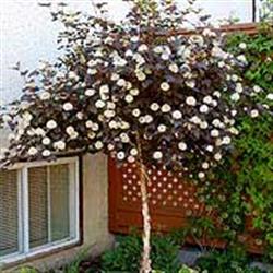 Ninebark Trees Gammon S Garden Center Amp Landscape Nursery