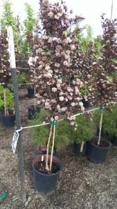 Physocarpus opulifolius 'Seward'