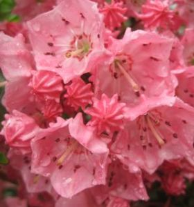 Pink Charm Mountain Laurel