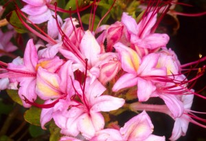 Pink and Sweet Azalea