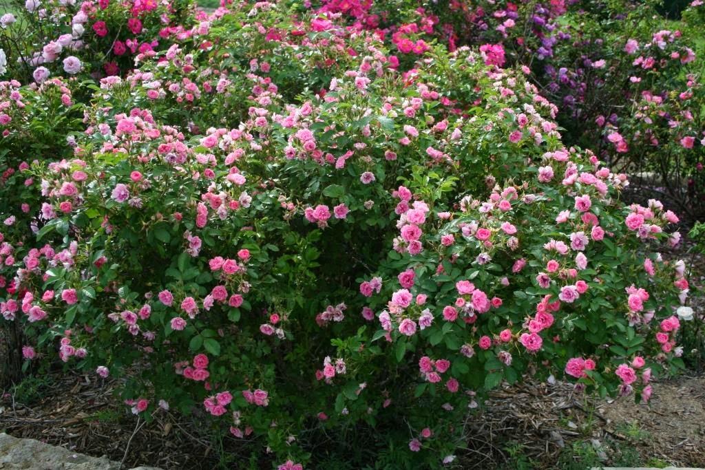 Роза f j grootendorst