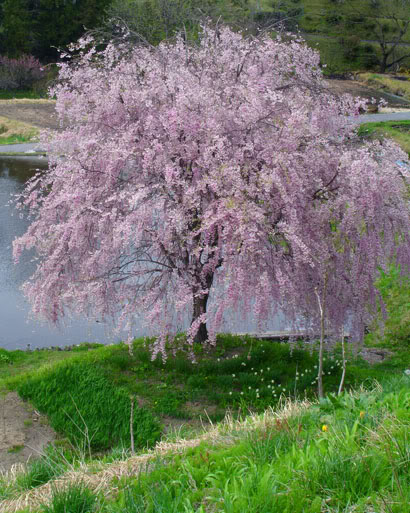 Pink Snow Showers Weeping Cherry