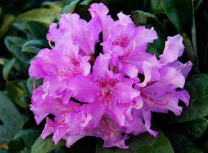 Pojohla's Daughter Rhododendron
