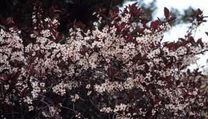 Prunus cistena schmidtcis