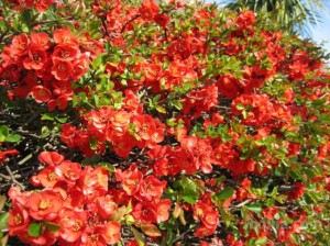 Quince Texas Scarlet