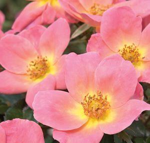 Shrub Roses Gammon S Garden Center Amp Landscape Nursery