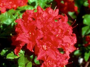 Red Letter Azalea