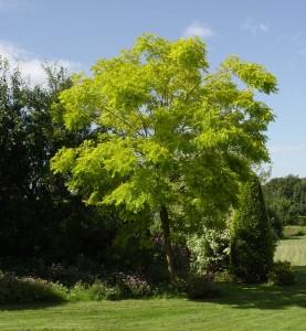 Robinia Robinia pseudoacacia