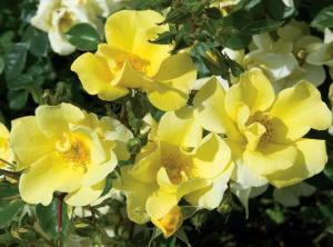Rose Limoncello