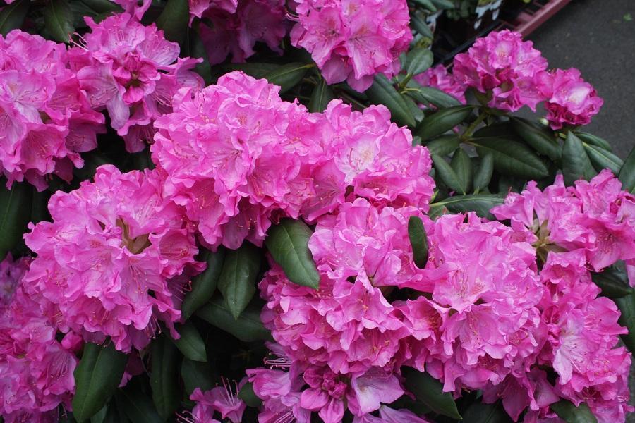 rhododendron gammon 39 s garden center landscape nursery. Black Bedroom Furniture Sets. Home Design Ideas
