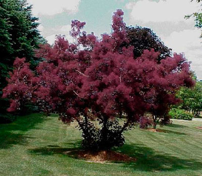 Smokebush Gammon S Garden Center Amp Landscape Nursery