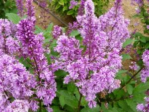 Royalty Lilac