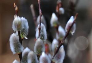 Salix gracilistyla