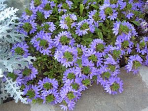 Scaevola or Fan Flower