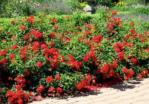 Carpet Roses Gammon S Garden Center Amp Landscape Nursery