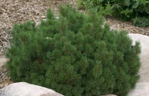 Slowmound Mugo Pine