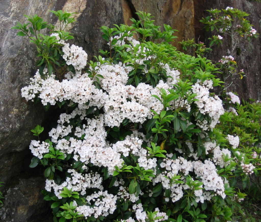 Snowdrift Mountain Laurel