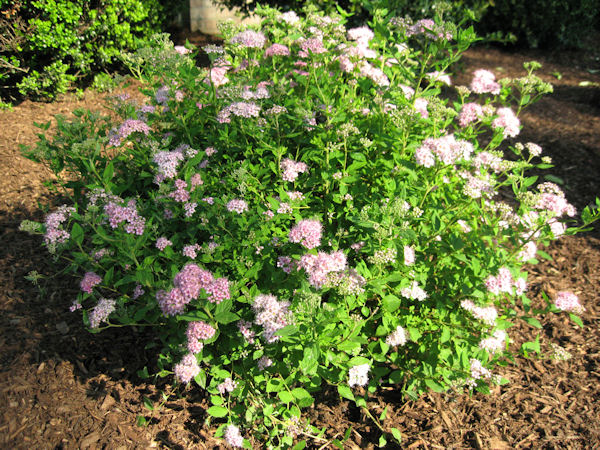 Spiraea Gammon S Garden Center Amp Landscape Nursery