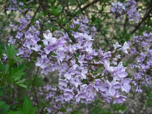 Syringa 'Lavender Lady'